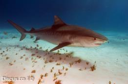 כריש-נמר
