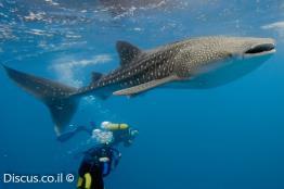 כריש-לוויתן