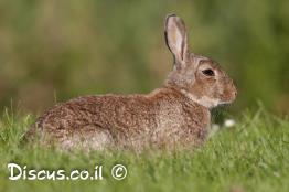ארנבון-מצוי