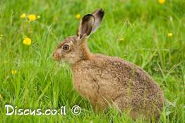 ארנבת-מצויה