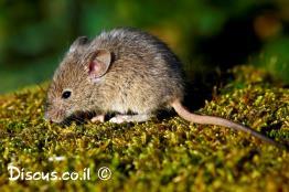עכבר-מצוי