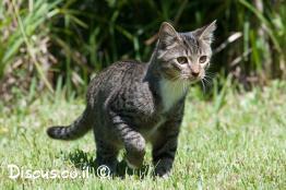 חתול-בית