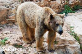 דוב-חום