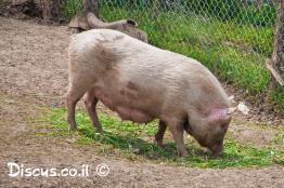 חזיר-בית