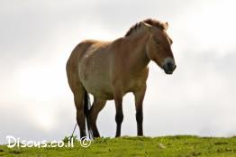 סוס-רמכי