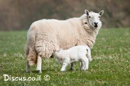 כבש-בית