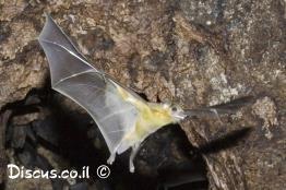 עטלף-פירות-מצוי