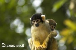 קוף-סנאי-בוליביאני
