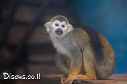 קוף-סנאי-מרכז-אמריקני