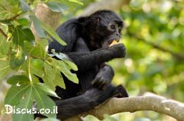קוף-עכביש-שחור-ראש