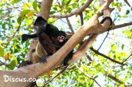 קוף-עכביש-שחור-יד