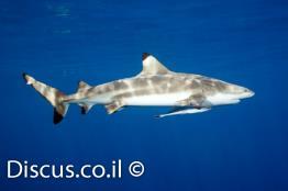 כריש-שחור-סנפירים