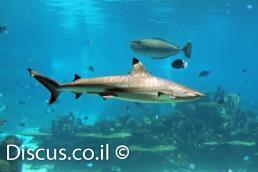 כריש שחור סנפירים