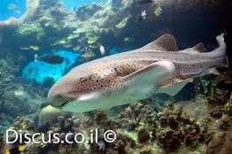 כריש-זברה