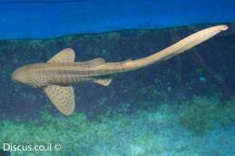 כריש זברה
