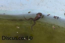 צפרדע הנחלים
