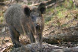חזיר-בר