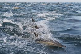 דולפין-מצוי