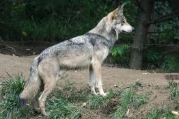 זאב-אפור