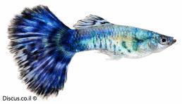 דג גופי