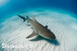 כריש-לימוני